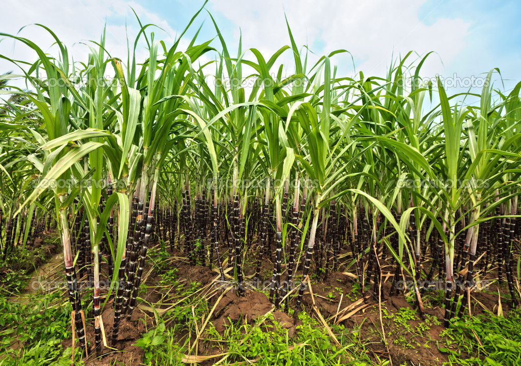 Ojemai farms to invest in Sugar cane plantation in Edo ...