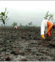 Bodo Remediation Advances with Large-Scale Mangrove Planting